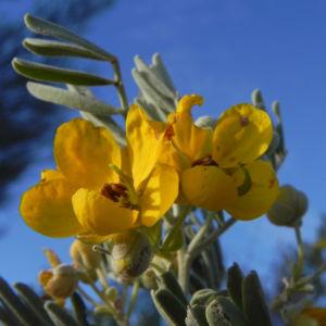 gewuerzrinden bluete gelb senna artemisioides 03