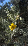 gewuerzrinden bluete gelb senna artemisioides 06