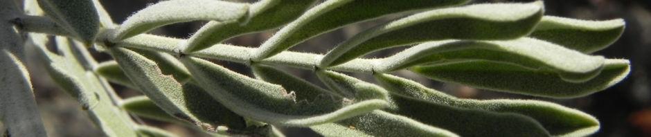Anklicken um das ganze Bild zu sehen  Wüsten-Kassia Silver Cassia Blüte gelb Senna artemisioides