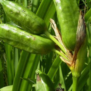 iris pseudacorus 03