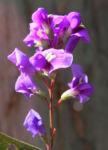 purpur korallenerbse ranke bluete violett hardenbergia violacea 03