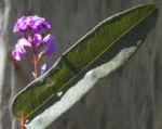 purpur korallenerbse ranke bluete violett hardenbergia violacea 04