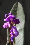 purpur korallenerbse ranke bluete violett hardenbergia violacea 06