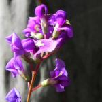purpur korallenerbse ranke bluete violett hardenbergia violacea 07