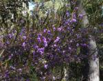 purpur korallenerbse ranke bluete violett hardenbergia violacea 10