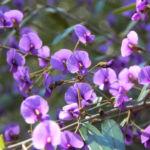 purpur korallenerbse ranke bluete violett hardenbergia violacea 35
