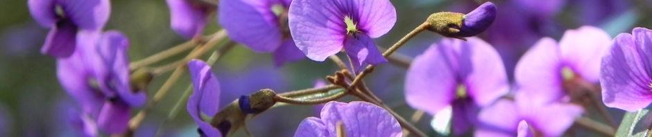 purpur-korallenerbse-ranke-bluete-violett-hardenbergia-violacea