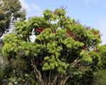 queensland strahlenaralie blatt gruen spreite rot schefflera actinophylla 01