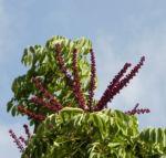 queensland strahlenaralie blatt gruen spreite rot schefflera actinophylla 02