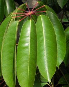 queensland strahlenaralie blatt gruen spreite rot schefflera actinophylla 04