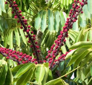 queensland strahlenaralie blatt gruen spreite rot schefflera actinophylla 11