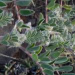 sturts wuestenerbse desert pea schote grau gruen swainsona formosa 05