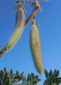 sturts wuestenerbse desert pea schote grau gruen swainsona formosa 07