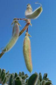 sturts wuestenerbse desert pea schote grau gruen swainsona formosa 08