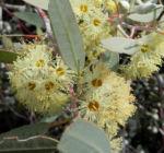 summer red mallee eukalyptus baum bluete hellgelb knospen samen eucalyptus socialis 01