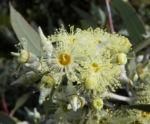 summer red mallee eukalyptus baum bluete hellgelb knospen samen eucalyptus socialis 04