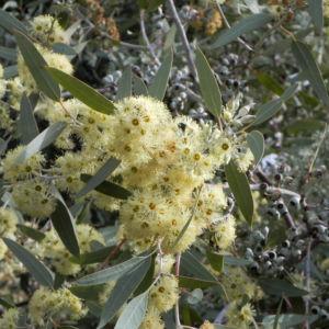 summer red mallee eukalyptus baum bluete hellgelb knospen samen eucalyptus socialis 05