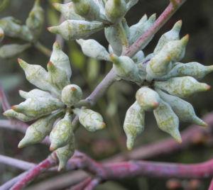 summer red mallee eukalyptus baum bluete hellgelb knospen samen eucalyptus socialis 07