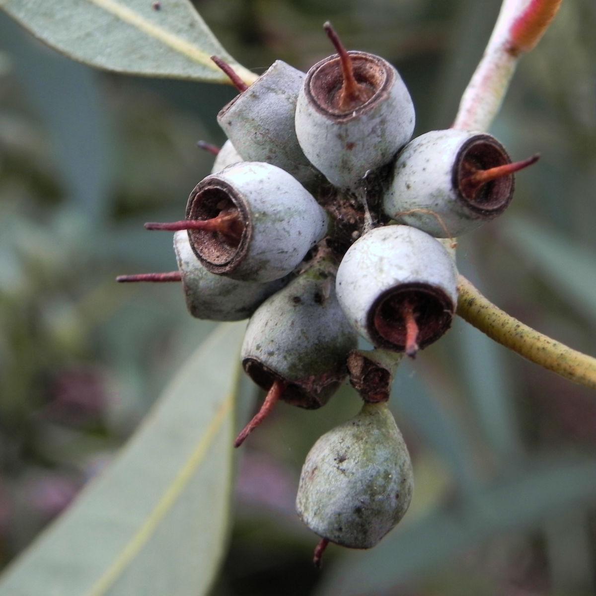 summer red mallee eukalyptus baum bluete hellgelb knospen samen eucalyptus socialis