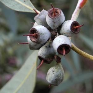 summer red mallee eukalyptus baum bluete hellgelb knospen samen eucalyptus socialis 08
