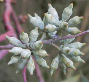summer red mallee eukalyptus baum bluete hellgelb knospen samen eucalyptus socialis 12