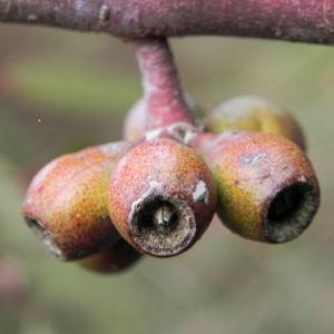 summer red mallee eukalyptus baum bluete hellgelb knospen samen eucalyptus socialis 16