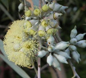 summer red mallee eukalyptus baum bluete hellgelb knospen samen eucalyptus socialis 17