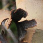 Bild: Summer Red Mallee Eukalyptus Baum Blüte hellgelb Knospen Samen Eucalyptus socialis