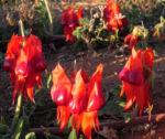 Bild: Sturt's Wüstenerbse Desert Pea Blüte rot schwarz Swainsona formosa