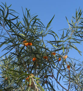 Bild: Weinende steinlinde frucht orange pittosporum phillyreoides